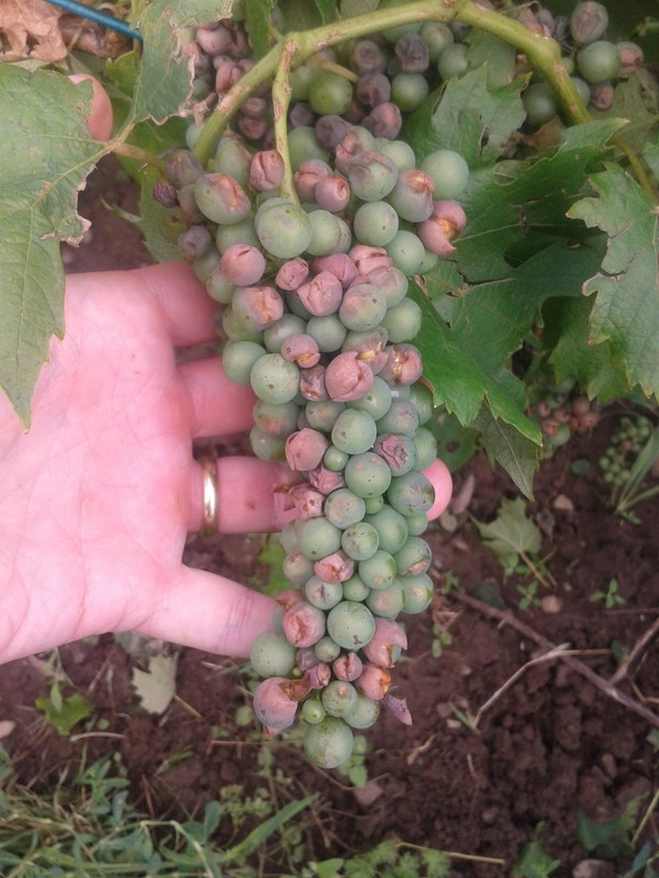 Hail damage on Italian Riesling.