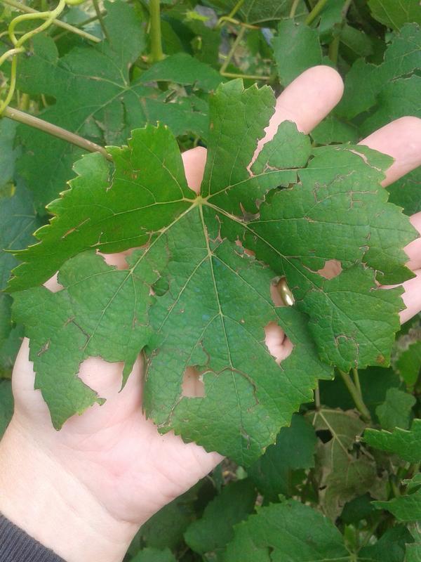 Hail damage to grape leaf.