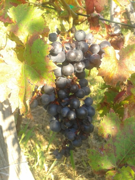 For now, we will just let the grapes hang on the vines.