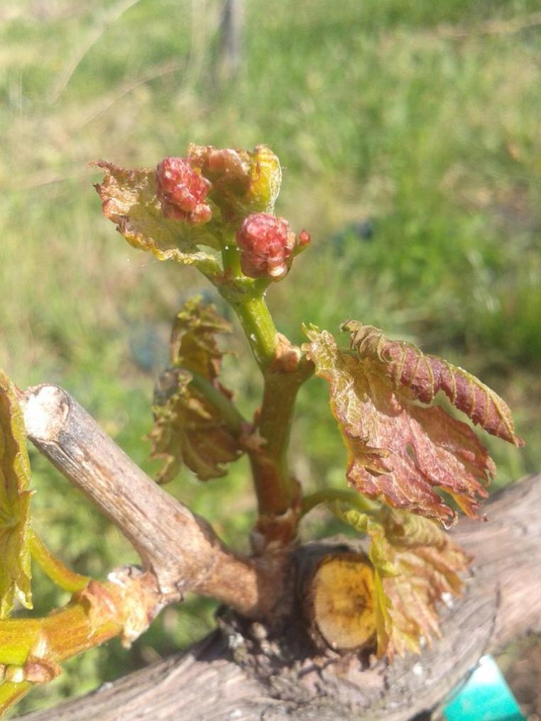 Significant frost damage to Turán leaves.