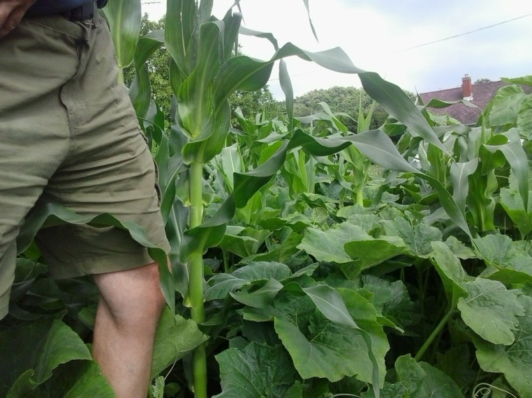 Height of corn and squash in late June.