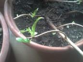 Sprouting Fuchsia