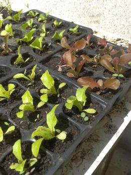 Salad starters