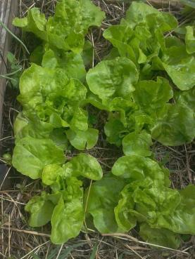 Salad in garden