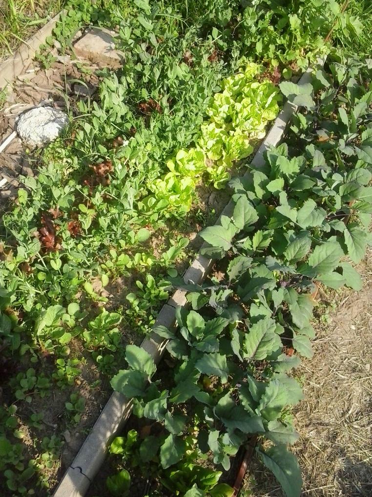 Salad, green beans and kohlrabi