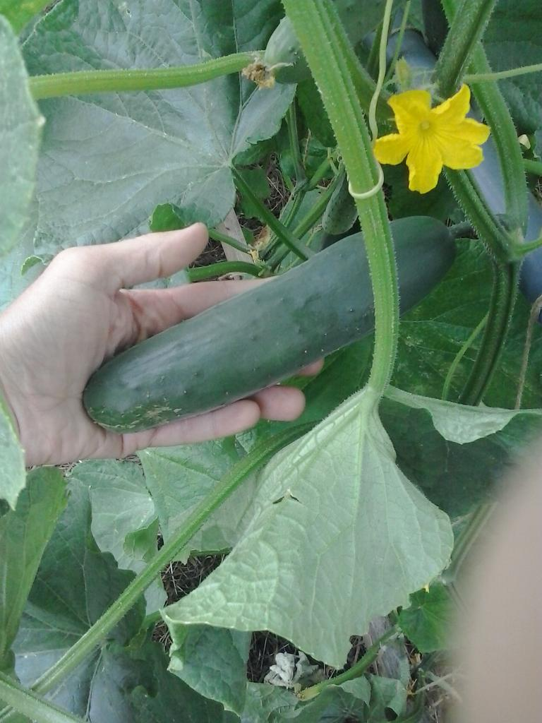 Cucumbers on June 19th 2018