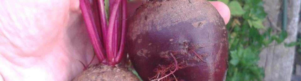 Fresh Garden Beets