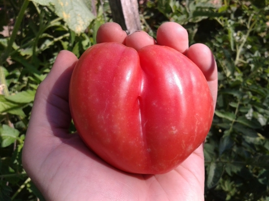 Ox Heart Tomato