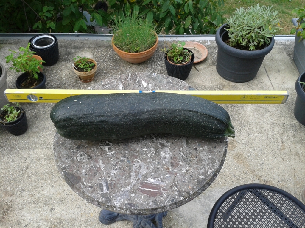 Monster Zucchini beside a meter stick.