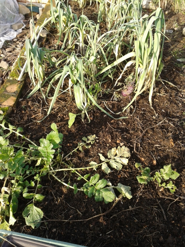Compost added to a bed with leeks and black radish.