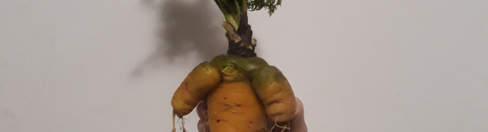 Almost human looking forked carrot
