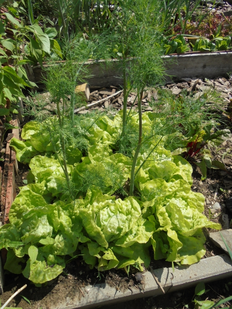 Intercropping tall dill with lettuce.