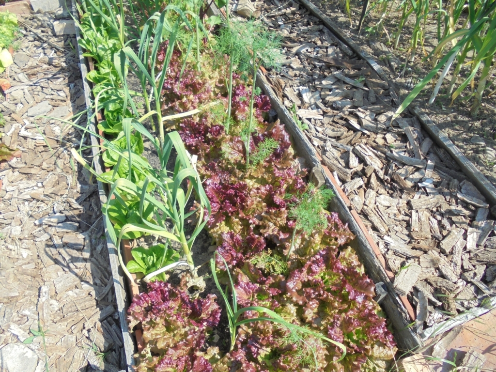Intercropping tall dill and garlic with lettuce.